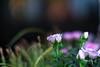 Minolta MC Rokkor 58 mm f1.2- DSCF3965 (::Lens a Lot::) Tags: minolta mc rokkor 58 mm f12 70s | 8 blades apperture md mount paris 2018 bokeh depth field color vintage manual classic japanese fixed length prime lens profondeur de champ flower close up macro yellow purpple extérieur wideopen wide open rès belle le traitement est superbe fleur brillant