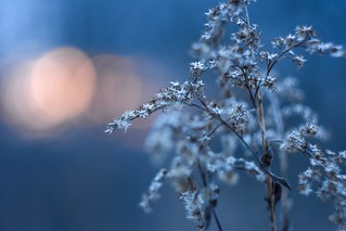 Navy blue sky and winter flower.
