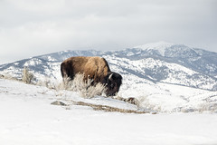 IMGP5821.jpg (PenTex) Tags: buffalo bison yellowstone winter montana snow