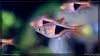 harlequin rasboras (kelvinj_funlab) Tags: kelvinjong funlab d810 nikon tamron90mmf28spdimacro11vcusd tamron macro kenko singapore handheld indoor aquarium fish harlequinrasboras