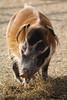 Red River Hog (charliejb) Tags: redriverhog hog redriver wildplace wildlife 2018 mammal porcine fur snout ears hoofed bristol