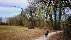 Waiting for the color of spring (Jos Mecklenfeld) Tags: forest wald bos landscape landschaft landschap nature natur natuur hiking wandern wandelen dog hond hund dutchshepherddog dutchshepherd shepherddog shepherd herdershond herder totoro sonyxperiaz5 xperia