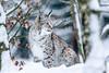 S C H M U S E K A T Z E - by mjk-photo (KevinBJensen) Tags: mjkphoto time for nature timefornature schmusekatze lynx luchs lynxlynx winter katze wilkatze schnee snow tier animal mammals felidae säugetier wildkatze natur winterkatze