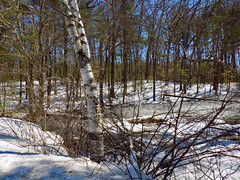 Winter in the Woods - 11 (Stan S. Gallery) Tags: winter snow ice trees tree forest wood woods brook stream creek reserve shadows shadowplay birchtree winterbeauty