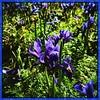Mini iris. #iPhonemacro #macro  #flower #flowersofinstagram #downtown #dclife  #nationalmall #nationalparks #smithsonian #smithsoniangardens #gardens #nationalmall #downtown #dc #washingtondc #dclife #iphone #iphone365 #iphone7plus (Kindle Girl) Tags: nationalparks iphone7plus iphonemacro macro flower flowersofinstagram downtown dclife nationalmall smithsonian smithsoniangardens gardens dc washingtondc iphone iphone365