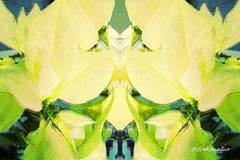 White Poinsettia #hypntique (Stephenie DeKouadio) Tags: art artistic artwork hypnotique abstract abstractart abstractpainting abstractflower abstractflowers macro macroabstract flowerabstract flowersabstract beautiful beauty poinsettia