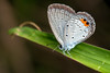 Pale Blue - _TNY_3438 (Calle Söderberg) Tags: macro canon canon5dmkii canonef100mmf28usmmacro canoneos5dmarkii flash meike mk300 glassdiffusor vietnam phuquoc insect butterfly euchrysops cnejus fjäril lycaenidae blue polyommatini blåvinge gramblue straw spots grass f11 5d2