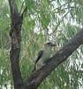 176. Kookaburra (1000 Wildlife Photo Challenge) Tags: birdphotography bird kookaburra naturelovers nature wildlifephotography wildlife wildlifeseekers