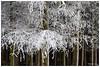 Encore un peu de neige (Pascale_seg) Tags: landscape paysage hiver winter sapin forêt forest neige snow tree branches moselle lorraine france nikon