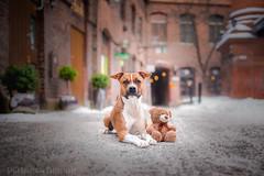 Jekku & Mr Teddy (Le-laa) Tags: teddybear teddy amstaff americanstaffordshireterrier dog dogphotography dogportait cute cutedog