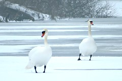 Swans at Coombe Country Park (skoop102) Tags: swan swans snow winter birds wildlife coombe coombecountrypark coombeabbey coombeabbeycountrypark warwickshire coventry