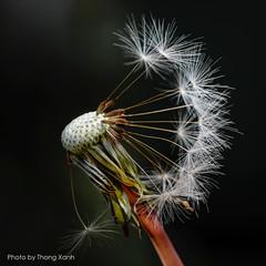 Dandelion (Thanh_Tung) Tags: dandelion macro flower