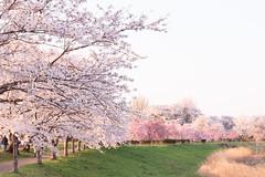 Cherry Blossoms (t.kunikuni) Tags: つくばみらい市 茨城県 日本 jp つくばみらい 茨城 桜 福岡堰 小貝川 japan ibaraki tsukubamirai fukuokazeki kokaigawa kokairiver fukuokadam cherryblossoms
