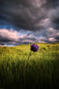 Wild Hyacinth spring 2018 (fgmachine) Tags: spring2018 northerncalifornia wildhyacinth springflowers purple flowers sloughhouse valley