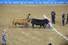 IMG_2920 (melodavis@sbcglobal.net) Tags: rodeohouston 2018 rodeo livestock heifer farmlife steer saddlebronc bronc bull bullriding calfscramble alpaca
