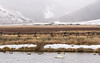 IMG_9858 (scepdoll) Tags: fishhatchery jackson jacksonhole nationalelkrefuge trumpeterswans wyoming snow swans winter unitedstatesofamerica