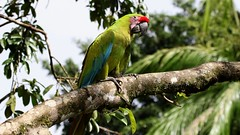 Great Green Macaw (Gail Casteel) Tags: alajuela travel avian wildlife nature birdwatching birds great green macaw costarica