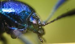 IMG_1026 (Maruf Shimanto) Tags: macro photography bangladesh reversed 1855lens insect