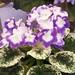 非洲紫羅蘭 Saintpaulia Sugar Plum Dream     [香港花展 Hong Kong Flower Show]