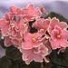 非洲紫羅蘭 Saintpaulia Rockin' Robin     [香港花展 Hong Kong Flower Show]