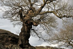 On this day, some time ago (Andrew 62) Tags: tree oak roots rock