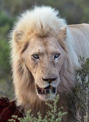 White Lion (Panthera leo krugeri) (Jeluba) Tags: 2018 afriquedusud canon jeanlucbaron jeluba pantheraleokrugeri sanbonawildlifereserve southafrica southafricanlion transvaallion whitelion nature wildlife portrait lionblanc vertical