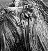 Rotten to the core (alan.irons) Tags: tree rotten trunk lines shapes mono bw closeup weathered lumber wood