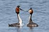 Fuut - Podiceps cristatus (wimberlijn) Tags: fuut podicepscristatus watervogel vogel eend natuur reeuwijkseplassen grebe waterbird bird nature wildlife animal outdoor ngc coth5