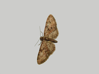 Brindled Pug Moth (Eupithecia abbreviata)