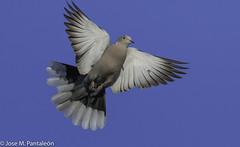 1-FELICES PASCUAS DE RESURRECCION PARA TODOS!! Rotas las cadenas de la muerte, Cristo asciende victorioso del abismo hacia el cielo! (Cimarrón Mayor 14,000.000. VISITAS GRACIAS) Tags: tortola ave vogel bird oiseau paxaro fugl pássaro птица fågel uccello pták vták txori lintu aderyn éan madár cimarrónmayor panta pantaleón josémiguelpantaleón objetivo500mm telefoto700mm 7dmarkii canoneos canoneos7dmarkii naturaleza libertad libertee libre free fauna dominicano pájaro montañas dominicanrepublic quisqueya repúblicadominicana caribe républiquedominicaine caraïbes caraibi repubblicadominicana dominikanischerepublik karibik karaiby dominikana dominikarerrepublika karibe dominikanskerepublik caribien dominikanskerepublikk karibien доминиканскаяреспублика карибскийбассейн