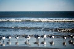 Keep Your Feet Wet (matthewkaz) Tags: seagulls gulls birds ocean atlanticocean water waves reflection reflections myrtlebeach sc southcarolina 2018