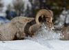 Snow Plow! Bighorn Sheep Ram in the Snow - 7127b+ (teagden) Tags: bighorn sheep ram bighornsheep bighornsheepram bighornram jenniferhall jenhall jenhallphotography jenhallwildlifephotography wildlifephotography wildlife nature naturephotography wyoming wyomingwildlife photography nikon wild snow snowplow