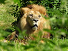 Grosse fatigue (Raymonde Contensous) Tags: parcdesfélins lumignyneslesormeaux seineetmarne lions félins félidés animaux nature pantheraléo bigcats grandsfélins