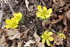 Winter aconite (danielhast) Tags: madison flower plant spring closeup macro yellow winter aconite eranthis hyemalis