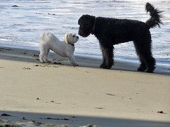 Nose to Nose with Owen (Bennilover) Tags: owen shihtzumix dogs benni labradoodle noses meeting greeting happy playing zoomies lagunabeach bigandlittle blackandwhite opposites contrast largeandsmall
