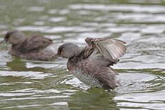 Least Grebe (Alan Gutsell) Tags: birds bird photo alan wildlife nature southtexasbirds texasbirds texas wildlifephoto canon lens least grebe leastgrebe