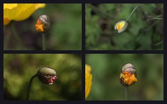 """""""Is Kevin grinning right at the camera again? I can't look."""" [aliens in the garden] (Snorkle-suz) Tags: smileonsaturday springflowers20172018 aliensinthegardenseries poppies poppy flowers buds garden nature funny dof collage aotearoa newzealand nz canoneos600d canoneosrebelt3i canoneoskissx5 helios44mf258mmlens helios helios44m helios44mlens"""