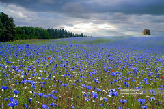 Blooming cornflowers and poppies in rye field (Nick Brundle - Photography) Tags: agriculture backgrounds denmark dusk field flower landscape meadow nature petal plant poppy red scandinavia scenics sky summer sunlight sunset tranquility vitality wideangle wildflower nikond750 nikon2470mmf28 gettyimages d750
