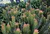 Миметес клобучковый, Mimetes cucullata,  Hot rod (Oleg Nomad) Tags: африка юар кейптаун кирстенбош ботаническийсад растения цветы протея africa capetown kirstenbosh botanicalgarden vegetation flowers protea travel