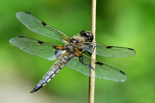 Vierfleck Libelle four-spotted chaser Libellula quadrimaculata