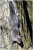 Sunbathing - Squirrel Style. (vegetus aer) Tags: woodwaltonfen greatfen greatfenproject wildlifetrust bcnwildlifetrust nnr cambridgeshire grey squirrel greysquirrel