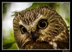 Northern Saw-whet Owl Portrait-1 (billthomas_steel) Tags: northernsawwhetowl owl aegoliusacadicus bird britishcolumbia fraservalley hunting townsendsvole canon canada eos7d owlsofthepacificnorthwest wildlife winter raptor