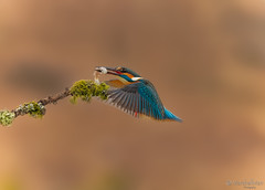 MMDX6723_DxO (mikemarshall2) Tags: kingfisher perch catch