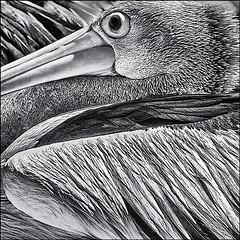 Pelican poses (Wanda Amos@Old Bar) Tags: bird pelican square monochrome blackandwhite wandaamos feathers etching eye filltheframe 7dwf crazytuesdaytheme