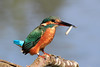 Kingfisher with Fish impersonating a Wren (Karen Roe) Tags: lackford lake lackfordlake naturereserve nature reserve suffolk county england britain uk unitedkingdom greatbritain gb canoneos760d canon 760d 150600mm sigma zoom wildlife hide september 2017 peaceful quiet tranquil outside autumn weather season camera photography photograph photographer picture image snap shot photo karenroe female flickr visit visitor common kingfisher alcedoatthis swt suffolkwildlifetrust contemporary