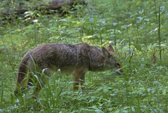 Tennessee coyote (stevelamb007) Tags: coyote wildlife tennessee stevelamb nikon d7200