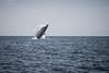breach (evan.glass) Tags: whale mexico breach pv action