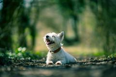 Pippa says it smells like spring (VintageLensLover) Tags: terrier westie frühling westhighlandwhiteterrier pippa bokeh schärfentiefe schärfeverlauf dof