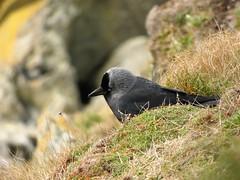 Jackdaw (Deanne Wildsmith) Tags: earthnaturelife isleofman peel jackdaw bird