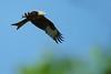 Red Kite 1 (Hugobian) Tags: red kites kite bird birds nature wildlife fauna flight flying raptor pentax k1 stilton